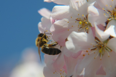 a bee on fruit tree blossom with blue sky and clouds photo