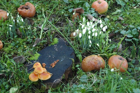 rotting: treestump with fungus, snowdrops and rotting apples Stock Photo