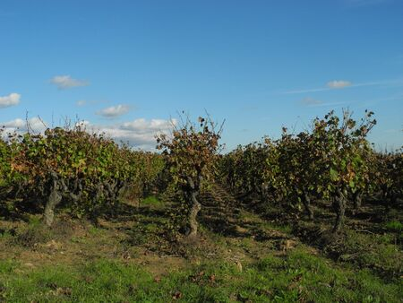 Vines in Autumn after the harvest photo
