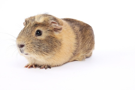 guinea pig isolated on white photo