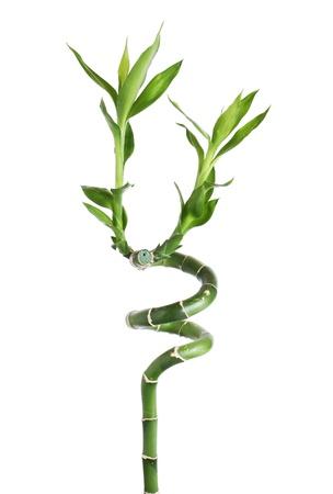 shoots: Verde de bamb� y hojas sobre fondo blanco Foto de archivo