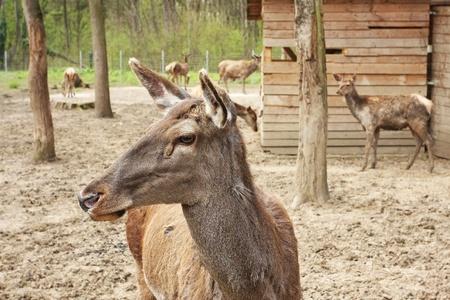 European deer photo