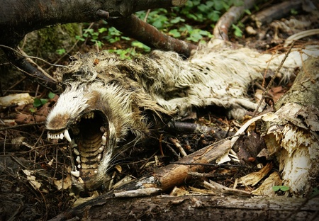 rotten teeth: Dead rotting animal  in forest