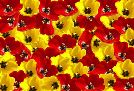 tight filled: Tulips flowers background