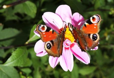 Beautiful peacock butterflies photo