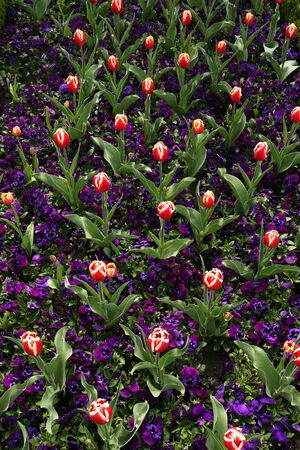 Tulip and purple pansies garden photo