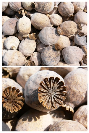 opium poppy: Poppy heads detail Stock Photo