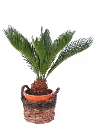 Palm tree in a pot isolated on white  photo