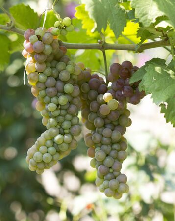 colorfuls: Green grapes ripen detail Stock Photo