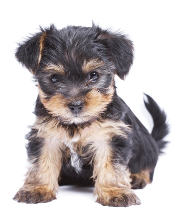 Cute Yorkshire terrier puppy dog photo