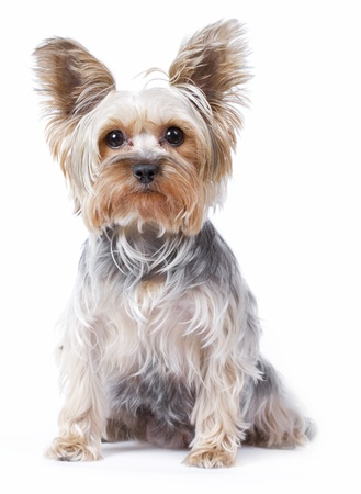 Yorkshire terrier dog over white background photo