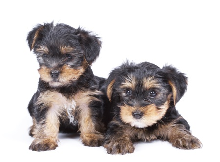 Cute Yorkshire terrier puppy s over white photo