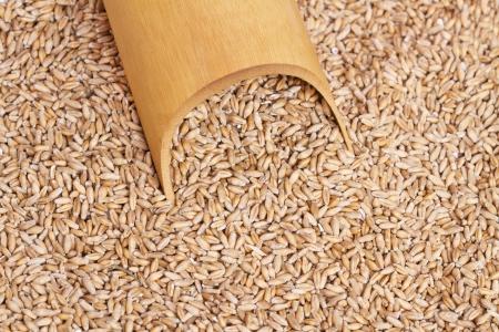 raw gold: Fresh wheat grains