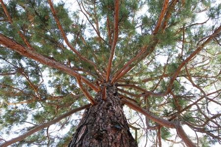 top angle view: Sequoia Gigantea tree branches