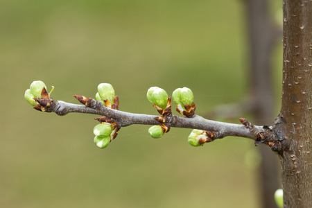 early morning: Spring tree buds