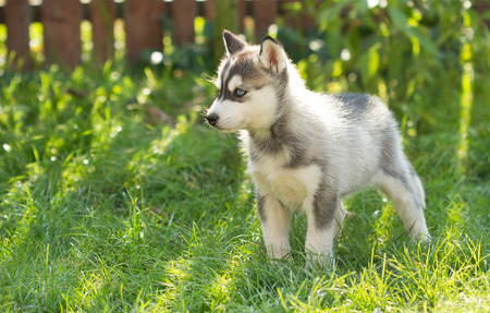 Husky puppy in the grass