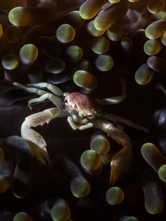 maculatus: Neopetrolisthes Maculatus Crab Stock Photo