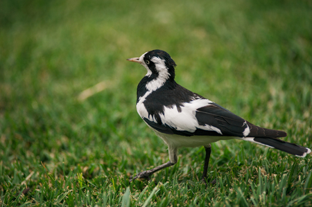 magpie: Magpie bird Stock Photo