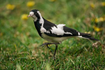 Magpie bird Foto de archivo