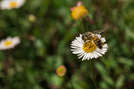 Bee-fly collecting pollen