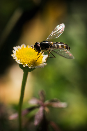 apis: Bee-fly collecting pollen