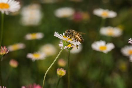Bee collecting pollen Foto de archivo