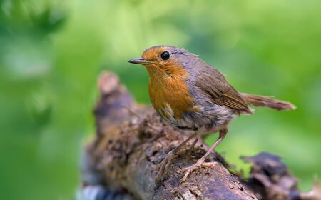 chats: European robin posing on a dry stick Stock Photo