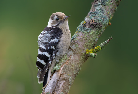 Lesser Spotted Woodpecker posing on an aged lichen branch