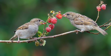 savour: House Sparrows feeding on a raspberry cane
