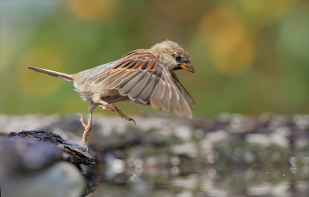House Sparrow jumping into the water Stock Photo