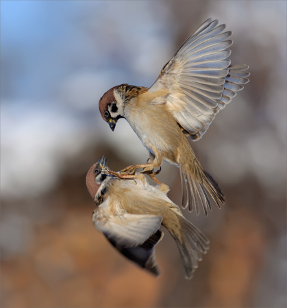Tree Sparrows fighting Stock Photo