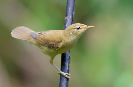 Young Marsh warbler (or Reed Warbler) inquiring