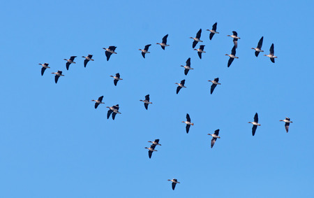 Bean geese flying in the sky Stock Photo