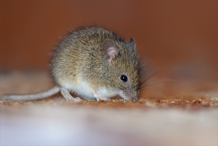invader: Wood mouse home invasion