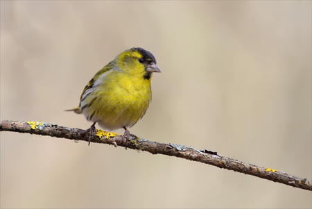 Eurasian siskin perched on a thin branch