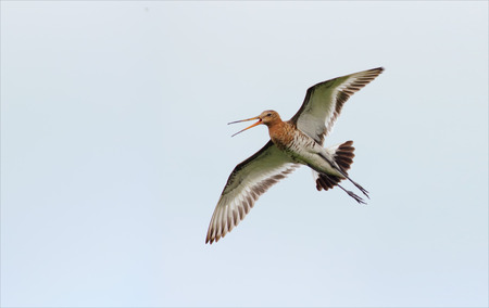 Black-tailed godwit flying and crying Stock Photo