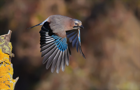 quickness: Eurasian jay take off