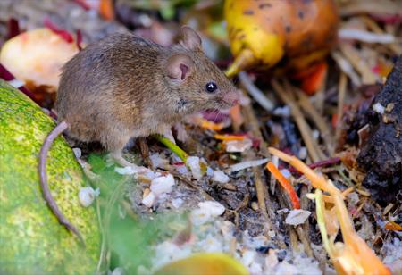 recolector de basura: House mouse feeding at the rubbish