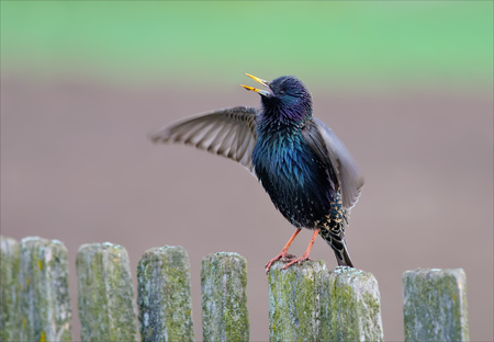 Common starling singing on a fence