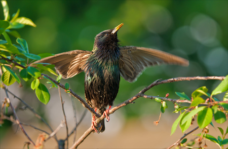 Common starling singing with spreaded wings