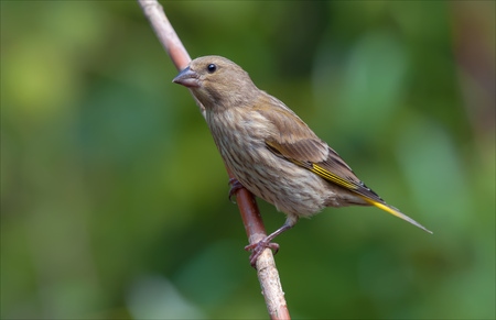 European greenfinch perched on a raspberry cane Stock Photo