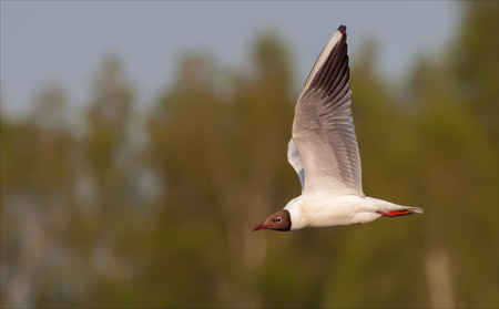 Black-headed gull flying over the river