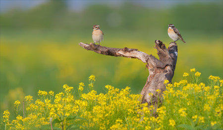 Whinchat couple in flowers Stock Photo