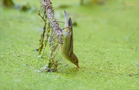 warblers: Icterine warbler drinking water