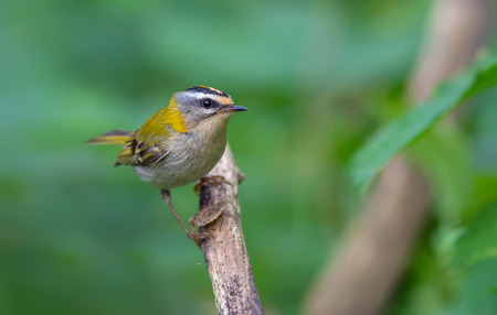 Common firecrest staring look