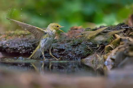 imminence: Wood Warbler fighting with Common Chiffchaff