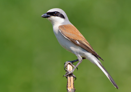 Red-backed shrike posing at the very top