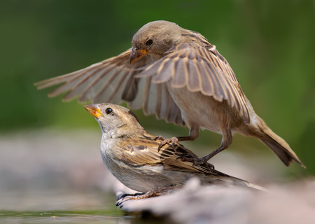 House Sparrows playing together