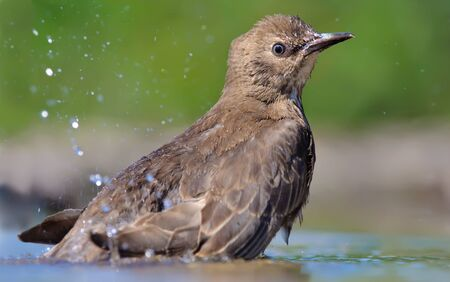 ardently: Common starling bathing Stock Photo