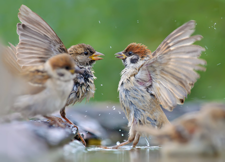 House Sparrow and Tree Sparrow fighting